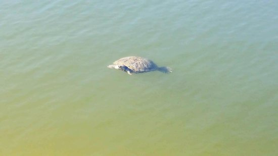 Gulf Waters Beach Front RV Resort: One of a dozen turtles in our pond