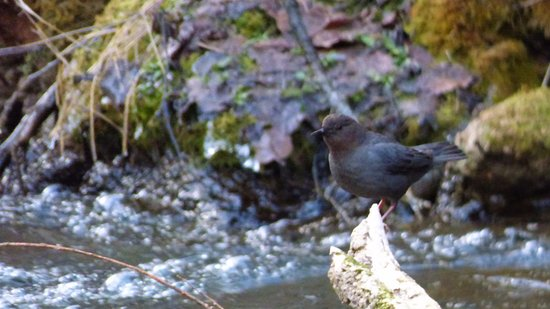 Spearfish Canyon Lodge: An American Dipper by Little Spearfish Falls
