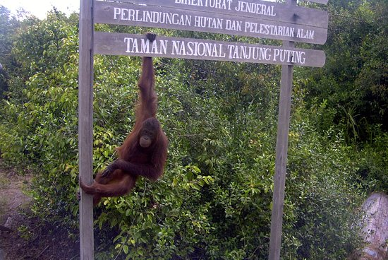 Pangkalan Bun, Indonesia: Tanjung Puting National Park the orangutan Conservation area just accross the river from center