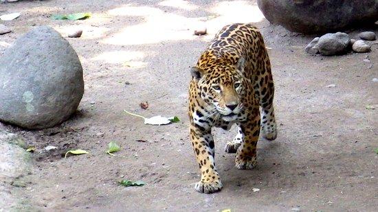 Escuintla, Guatemala: Beautiful Jaguar in natural enviroment,
