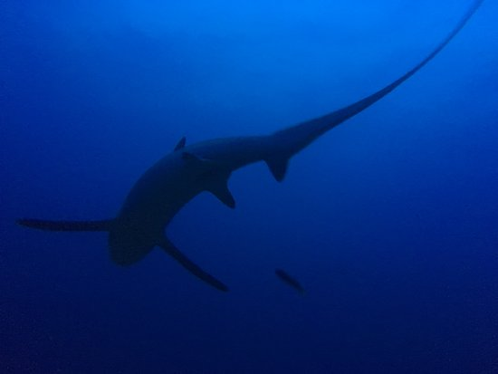 Malapascua Exotic Diving Center: Most famous thresher shark