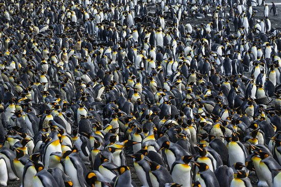 Tasmanien, Australien: Kind Penguin colony