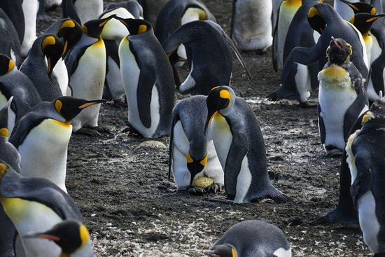 Tasmanien, Australien: King penguins on eggs