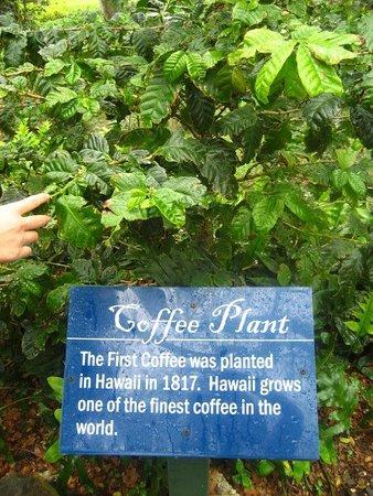Kaneohe, HI: Coffee Plant