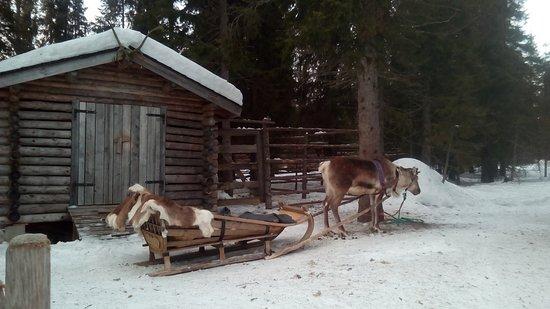 Kuusamo, Suomi: Balade en traineau de renne