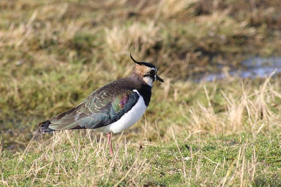 Sheerness, UK: Lapwing