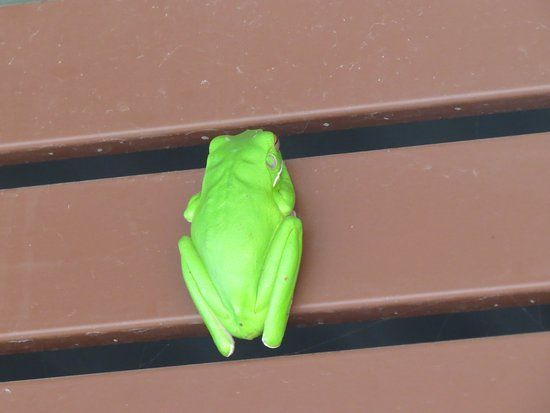 Daintree Region, Australia: Cooper Creek green frog