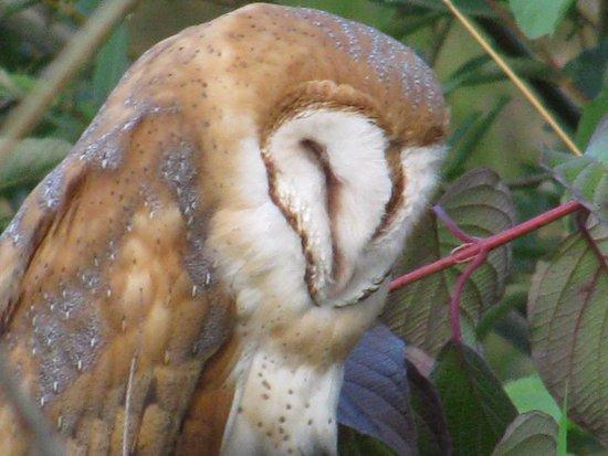 Washougal, WA: Barn Owl