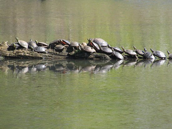Washougal, WA: Turtles Sunning