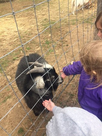 Fairview, Carolina del Norte: Petting the goat