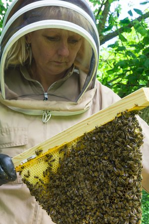 Samlesbury, UK: Kath the Beekeeper inspecting our honeybees in a top-bar hive