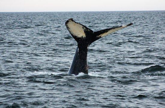 Bar Harbor Whale Watch Company: Humpback Fluke Aug 2016