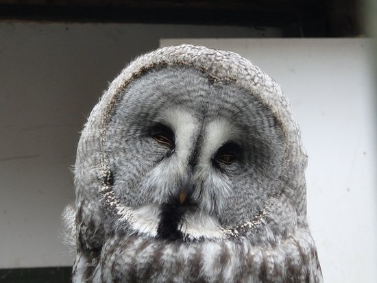 Ebbw Vale, UK: Great grey owl