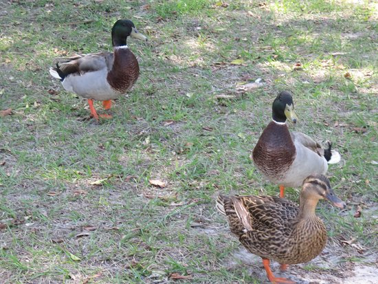 Southwest Gulf Coast, FL: Cute Ducks walking around