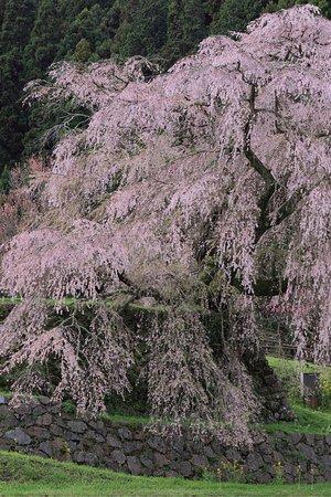 素晴らしい一本桜