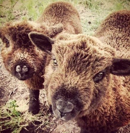 写真Ten Good Sheep枚