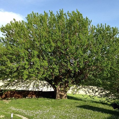 Arcevia, Italy: gigantische moerbei boom in de tuin