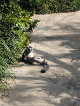 Hamilton, Islas Bermudas: Lemurs just hanging out.