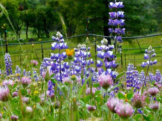 Sutter Creek, Californië: Wildflowers in the vineyard