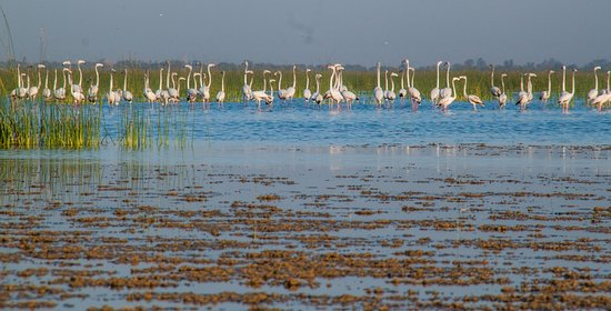 Nal Sarovar Birds Sanctuary: Greater Flamingos at Nad Sarovar Bird Sanctuary