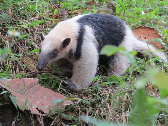 Hacienda San Vicente: Anteater next to trail