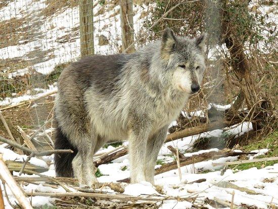 写真Wolf Sanctuary of PA枚