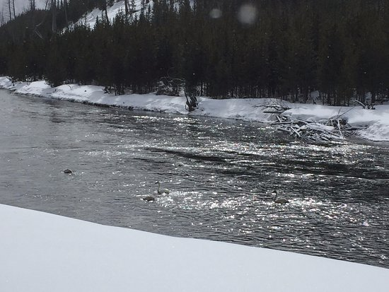 Driggs, ID: Trumpeter swans on the Madison River