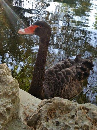 Parque de El Capricho: Cisne en el Estanque