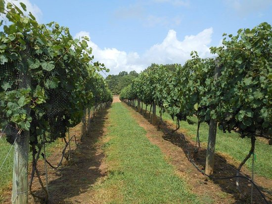 Morganton, Georgien: a vineyard row