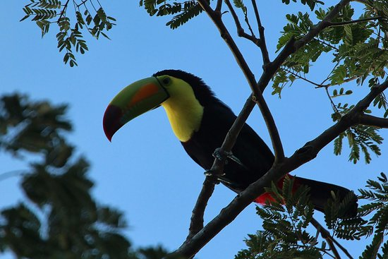San Antonio, Belice: Toucan in a tree outside our room