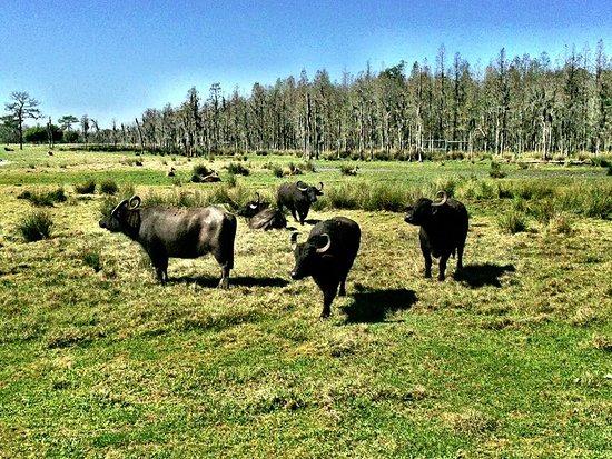 Safari Wilderness: water buffalo