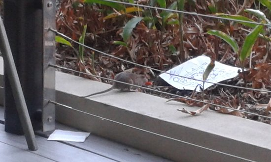 Redcliffe, Australia: One of the rats at the Mon Komo restaurant