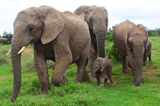 Kuala Gandah Elephant Sanctuary Tour...