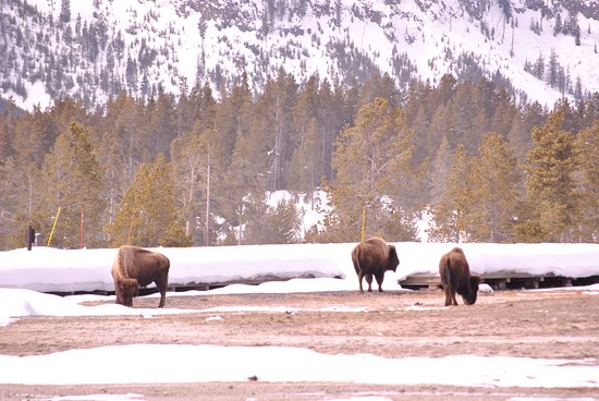 Wildlife Expeditions of Teton Science Schools: Bison migrate to Old Faithful.