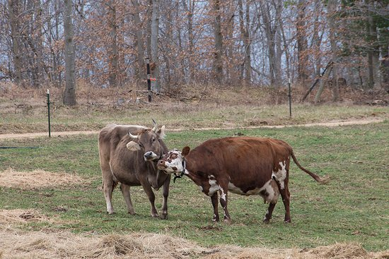 Brandywine, MD: The farm practices bio-dynamics for best results. Only happy cows!