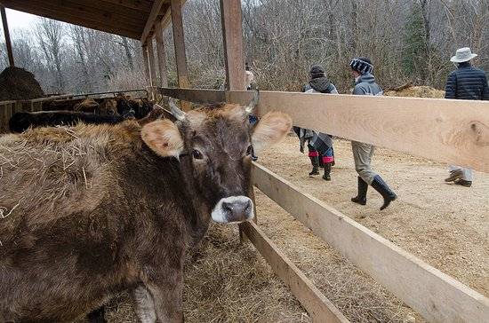 Brandywine, MD: The tour includes visiting cows, bulls, calves, chickens and pigs.