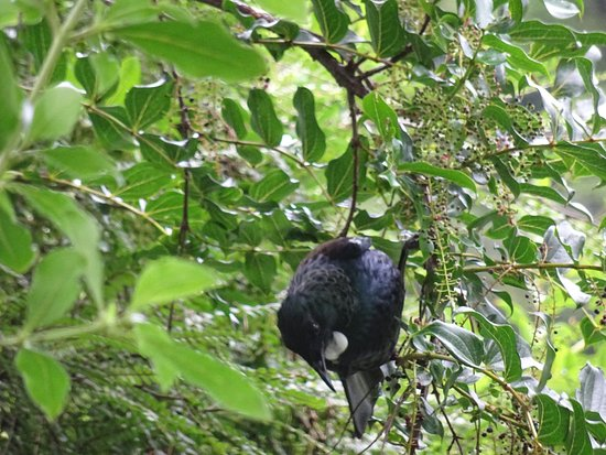 Murchison, Nova Zelândia: A Tui right at the pick up point