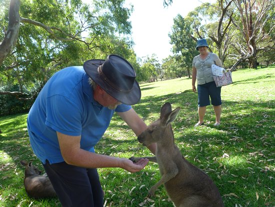 Victor Harbor, Australia: Feeding a teenage joey.