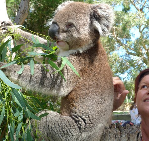 Victor Harbor, Australia: Up close and personal with a koala