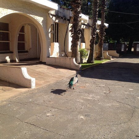 Kadoma Hotel and Conference Center: Dining and bar area. Multi-colored peacock and white peacock