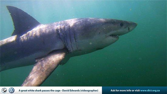 Kleinbaai, Sydafrika: Great White Shark - Gansbaai