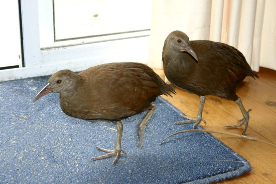 Hideaway: just saying hello ....our friendly endangered woodhens.