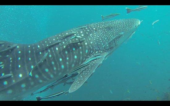 Roctopus Dive: Whale shark at Sail Rock.