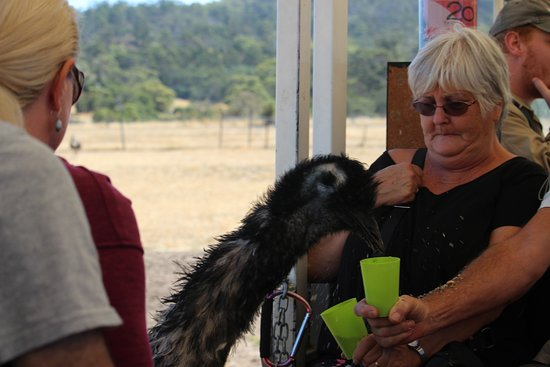 Richmond, Australië: lunch time for the emus