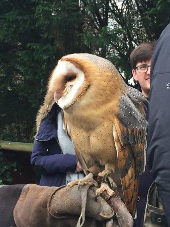 Preston, UK: One of the stunning owl's