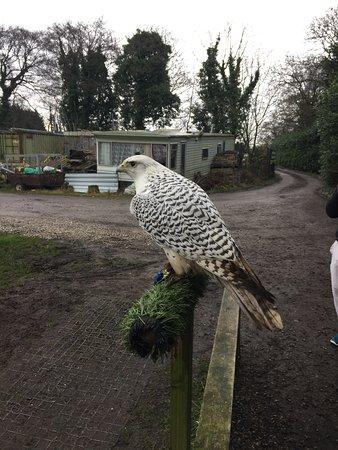 Preston, UK: Peregrine falcon