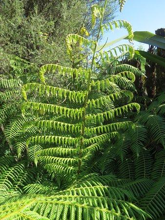 Many ferns within the Hamilton Gardens
