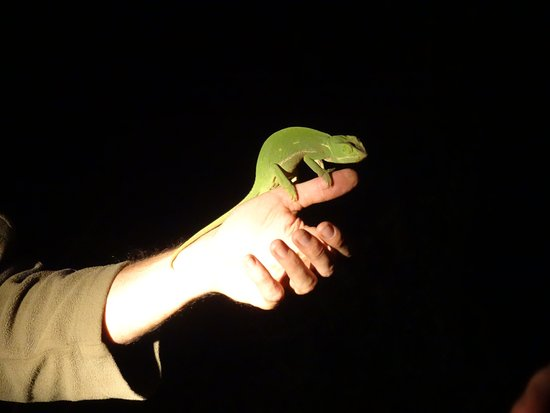Pongola, South Africa: Jeremy saw the chameleon in pitch dark. Amazing