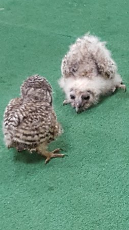 Knutsford, UK: Meeting the baby owls