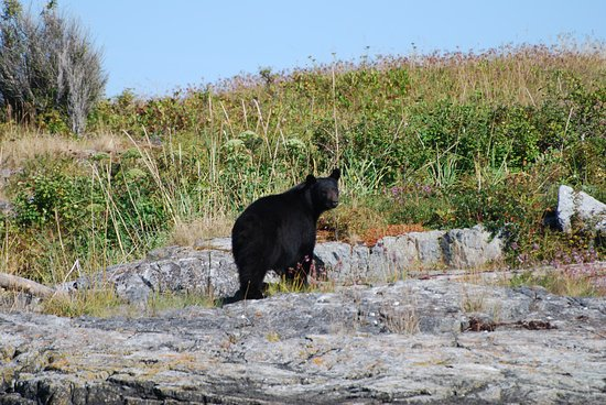 Port McNeill, Canada: A black bear foraging for saskatoon berries. He didn't mind us at all .